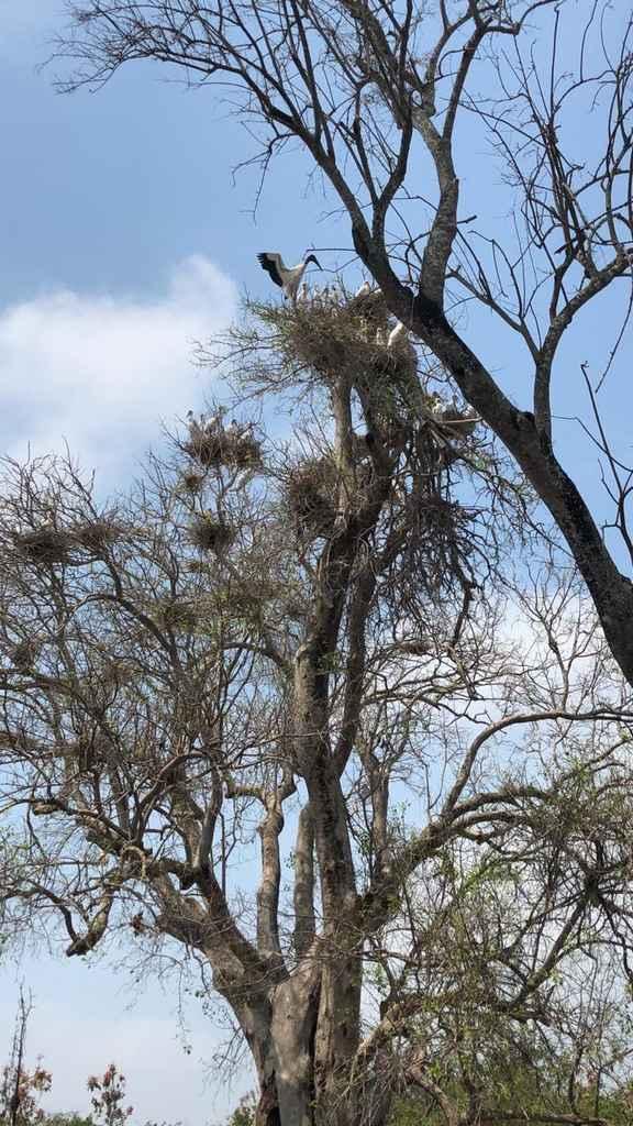 Ninhal pantanal
