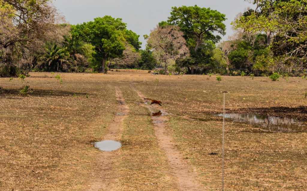 Quati, pantanal